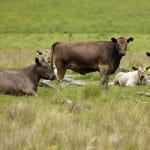 Cattle Waste To Halve Energy Costs At Beef Plant